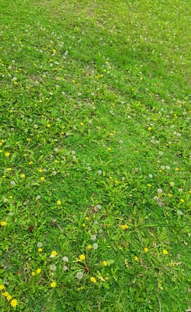 Dandelions and yellow flowers