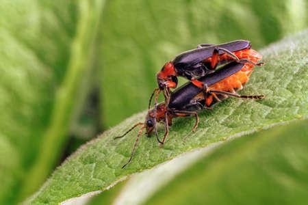 breeding soldier beetles on a leaf