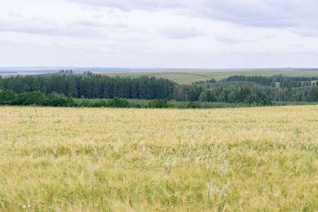 the wind is stirring ears of rye in the field in summer