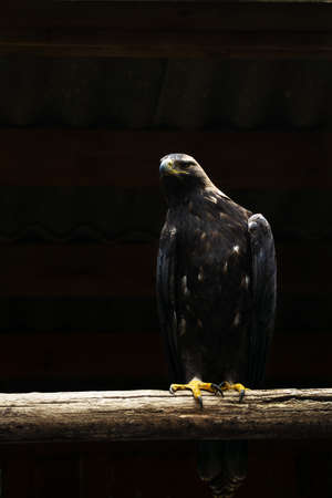 a large golden eagle sits on a thick wooden bar against a black background in backlight