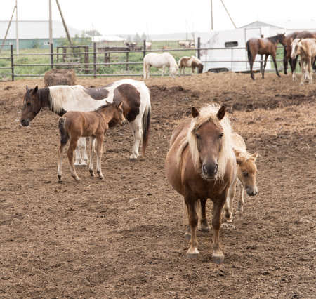 pregnant pony mare on the background of the herd