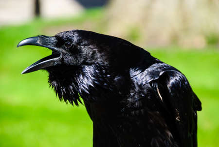 tower london raven photo