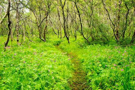 forest asbyrgi iceland Imagens