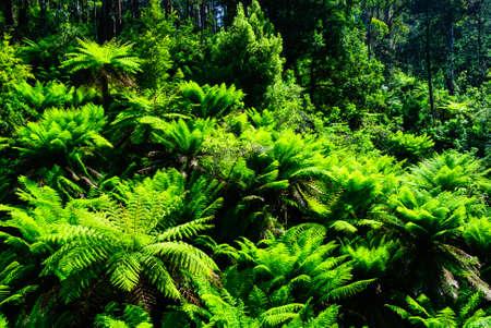 Tarra Bulga nationaal park australië varen bos Stockfoto