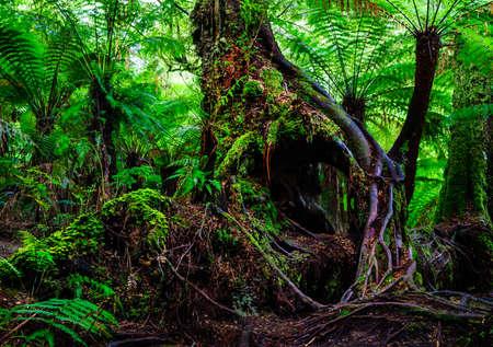 Vicotria australië boomwortel regenwoud varen Stockfoto
