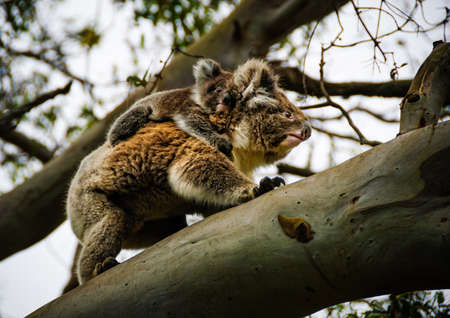 koala met baby Otway australia