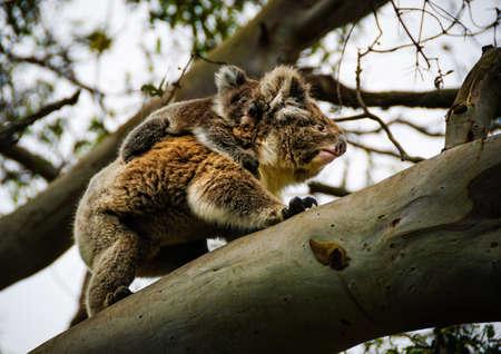 koala with baby otway australia Imagens