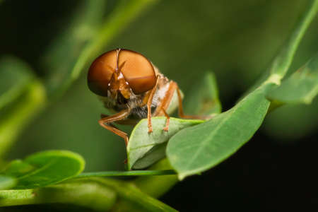 Horse fly on green leaf Stock Photo