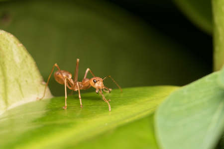 formica: Ants protect the nest, Red ant