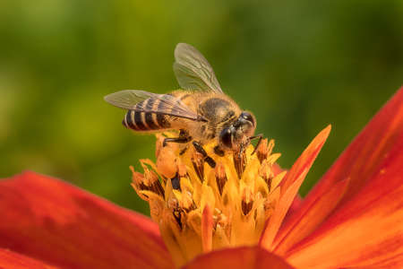 Bee collecting pollen on cosmos flower.