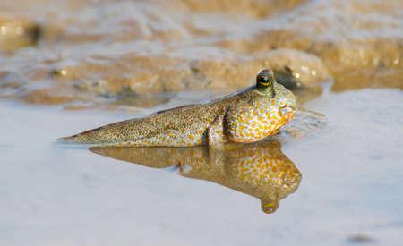Gaint mudskipper, mudskipper, Periophthalmodon schlosseri