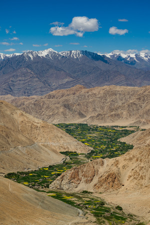 mustard field: Mustard field in Leh LadakhIndia. Stock Photo