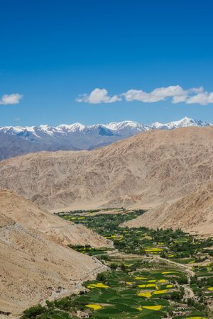 mustard field: Mustard field in Leh Ladakh India.