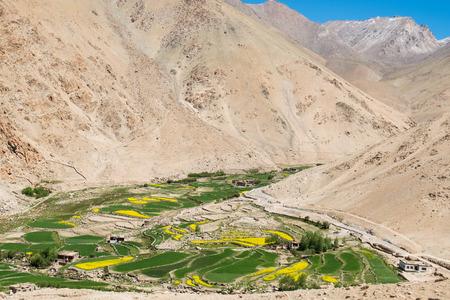 mustard field: Mustard field in Leh Ladakh,India.