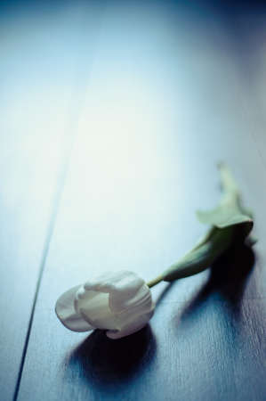 dreadful: White tulip on wooden background with limited focal depth. Processed with a filter Stock Photo