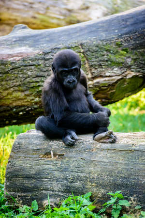 Young gorilla monkey sitting on a wooden stump