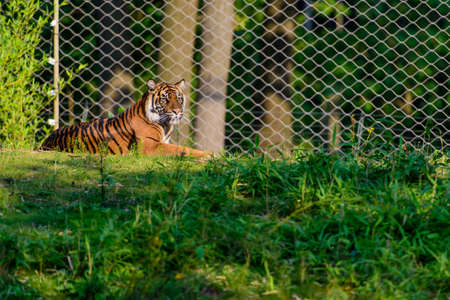 A tiger in captivity lying in the grass looking around behind a fence