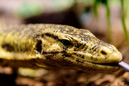 A closeup of the head of the Varanus salvator with limited depth of field