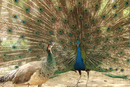 two peacock spread tail-feathers photo