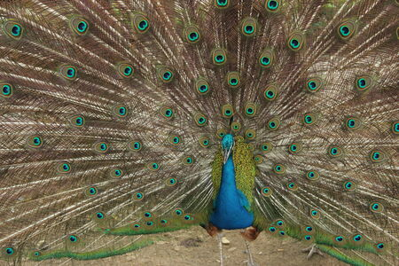 peacock spread his tail photo