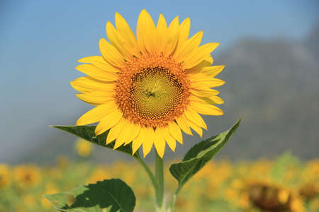 outstanding sunflower and blue sky