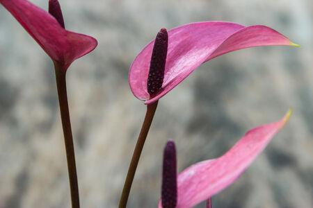 Flamingo Plant  background photo