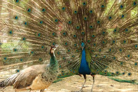 pavo real: Hombre pavo real muestra femenina del pavo real su hermosa cola Foto de archivo