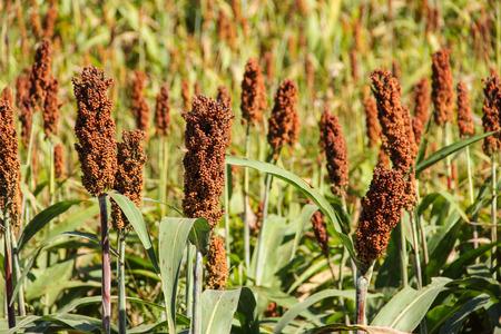 Millet veld Stockfoto