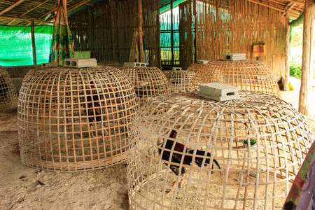 blood sport: The Fighting Cocks in Chicken coop at Fighting Cocks Farm,Thailand