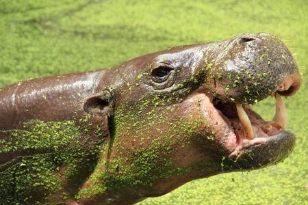 pygmy: Pygmy hippopotamus