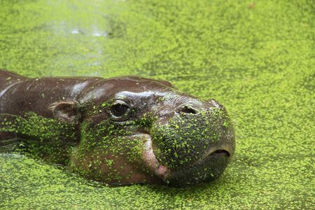 pygmy: Pygmy hippopotamus at the zoo Stock Photo