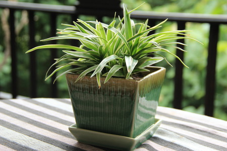 Ornamental plants in pot Variegatum,comosum