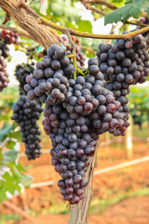purple red grapes: A bunch of grapes Stock Photo