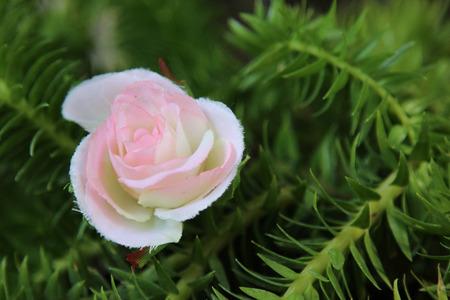 녹색 잎 배경, 인공 꽃 배경에 핑크 장미
