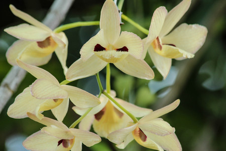 난초  Dendrobium pulchellum Roxb의 무리입니다. Lindl.