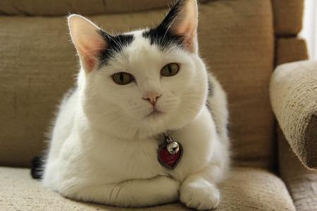소파에 솜털 같은 흑백 고양이 스톡 콘텐츠