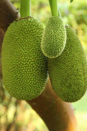 Jackfruit 나무와 젊은 Jackfruit