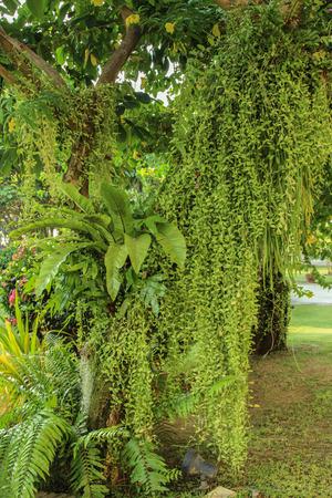 Dischidia nummularia Variegata, 나무에 녹색 매달려 식물  정원 디자인