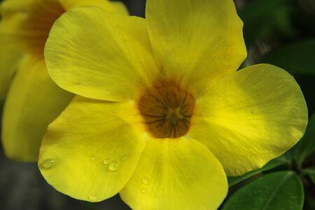 노란색 Allamanda 꽃 배경