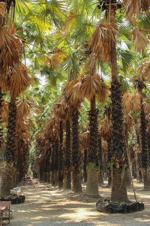 설탕 야자 나무  설탕 야자 나무의 행