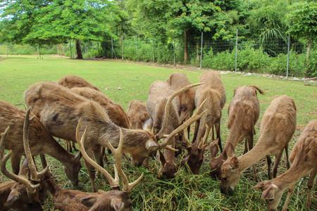 사슴 농장에서 잔디를 먹고있는 루사