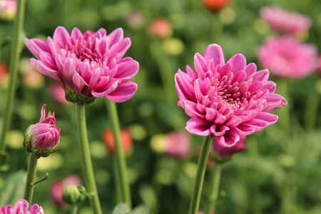 핑크 국화와 흐림 꽃 침대 배경