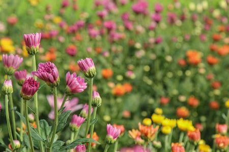 화려한 국화 꽃 배경을 흐리게 스톡 콘텐츠
