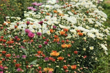다채로운 국화 꽃 침대 스톡 콘텐츠