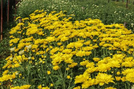 노란 국화 꽃 침대
