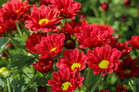 빨간 국화 배경, 정원