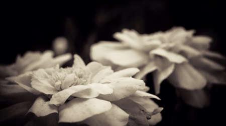 Sepia flower  Stock fotó