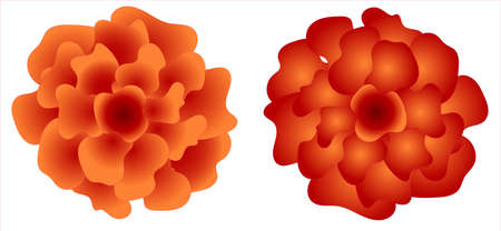 Chinese chrysanthemums. isolated on white background. for creating frames, banners and cards.