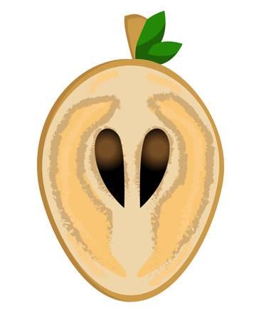 Sapodilla, fruit doodle drawings vector illustration. .Sapodilla, fruit doodle drawings vector illustration. Manilkara kauki seeds are tropical fr.it that are classified as sapodilla