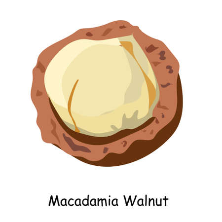 Macadamia nut. The most expensive nut in the world. illustration. Walnut isolated on a white background.